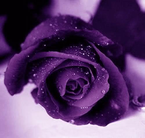 VioletRose-1