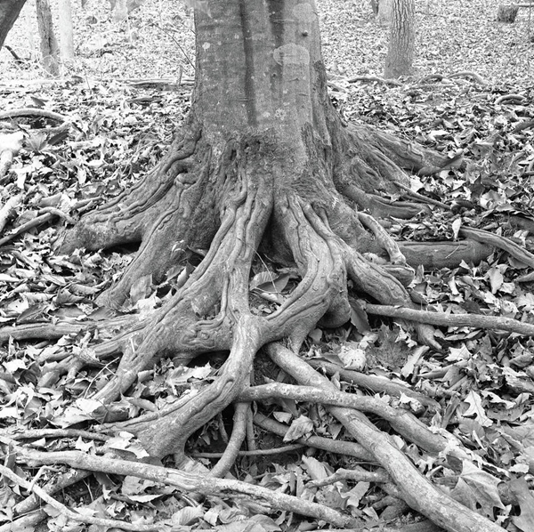 tree-roots-and-leaves-holden-richards