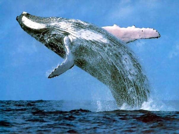 Breaching-whale
