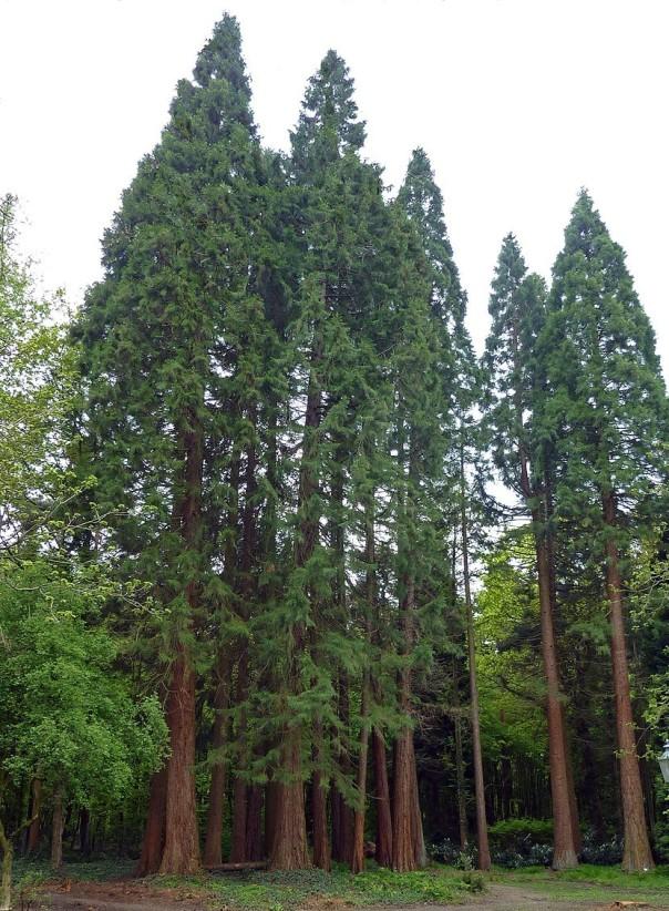 Sequoiafarm_Sequoiadendron_giganteum