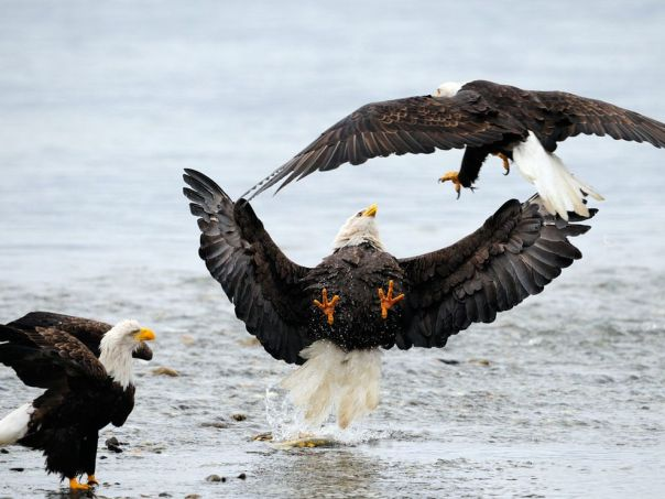 eagles-fighting_18367_990x742
