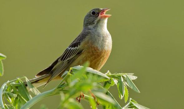 songbird-425915