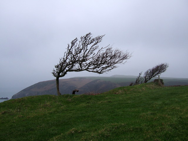 Wind-sculpted_trees_on_the_Pembrokeshire_coast_-_geograph.org.uk_-_298264