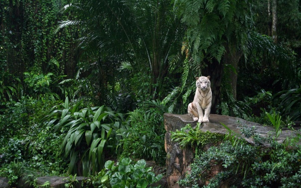 9981-jungle-white-tiger