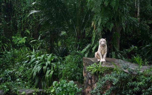 9981-jungle-white-tiger