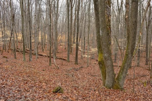 american-beech-trees-04012013-banshee-reeks-c-jim-clark_1
